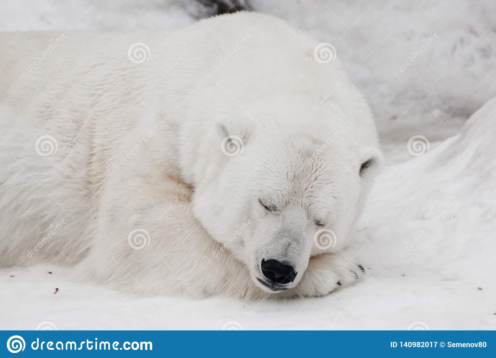 A white polar bear in a fluffy crystal-white skin lying on the snow and sleeping resting, a large predator hiding, merging