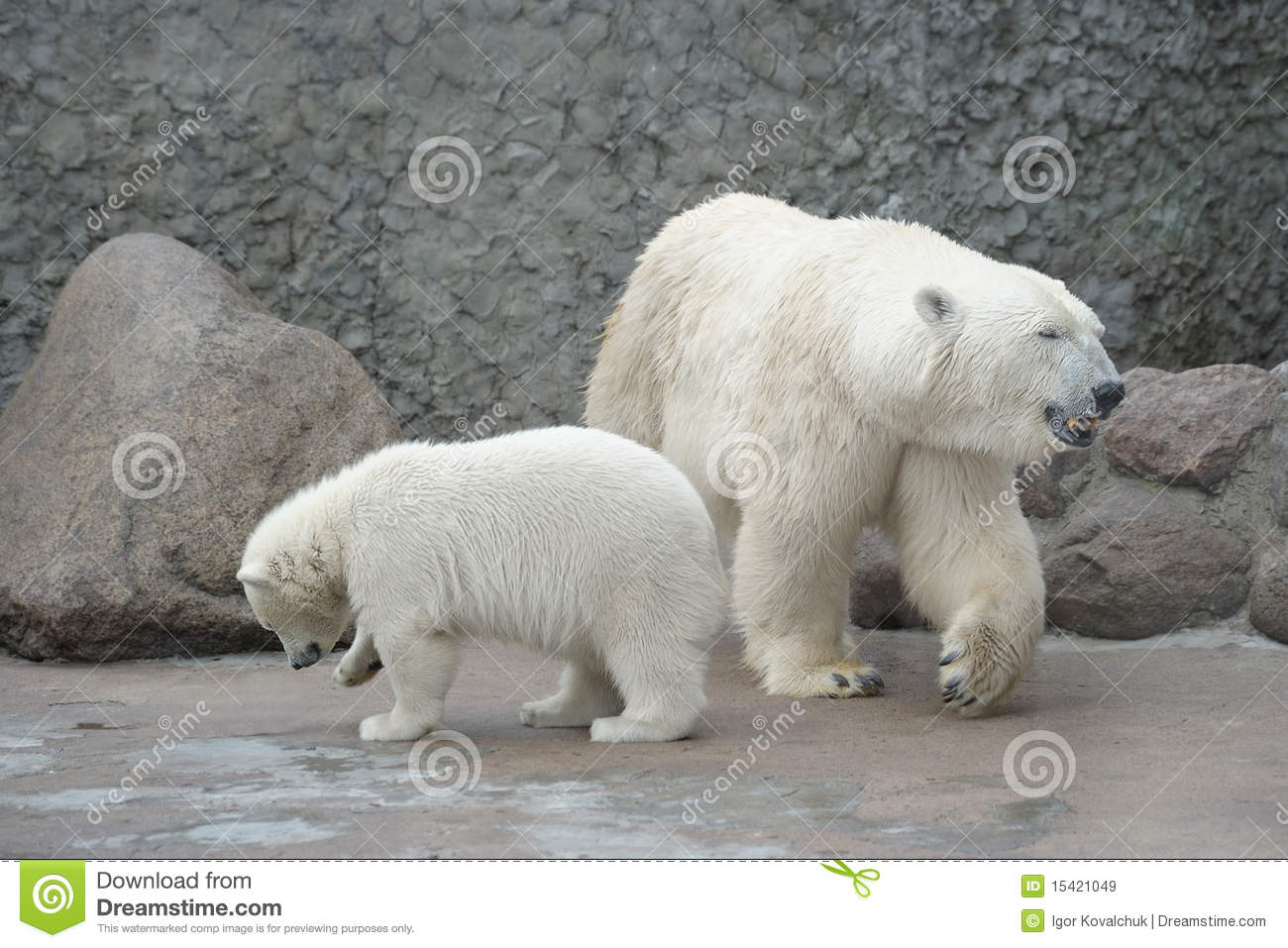 White polar bears family royalty free stock images image 15421049