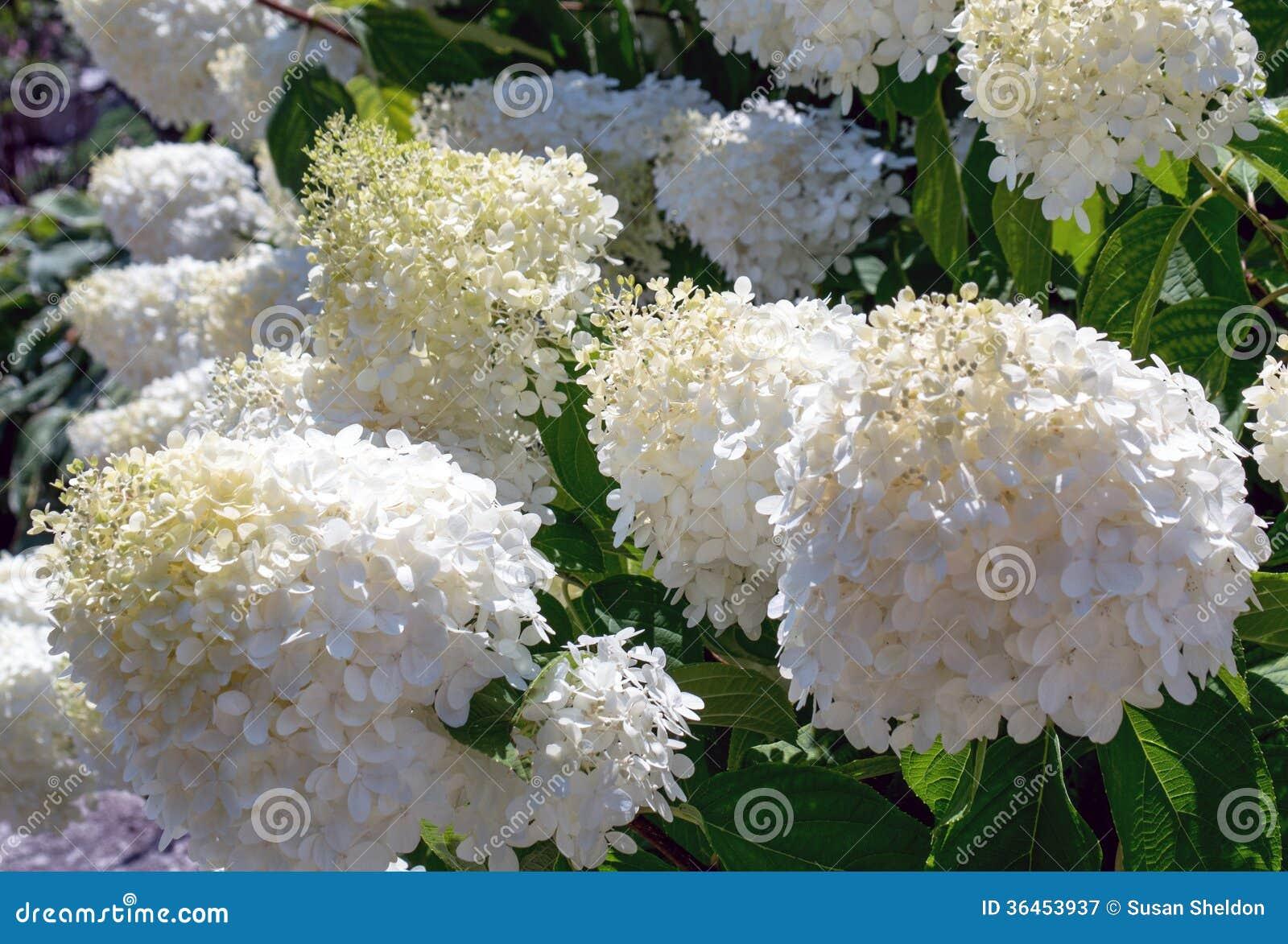 White pom pom flowers stock image image of white balls 36453937 white pom pom flowers mightylinksfo
