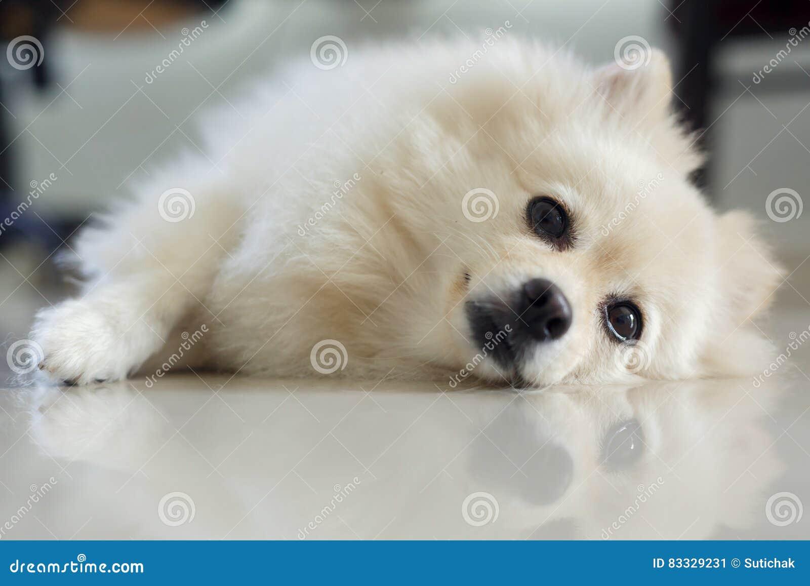 White Pomeranian Cute Dog Stock Image Image Of Resting 83329231