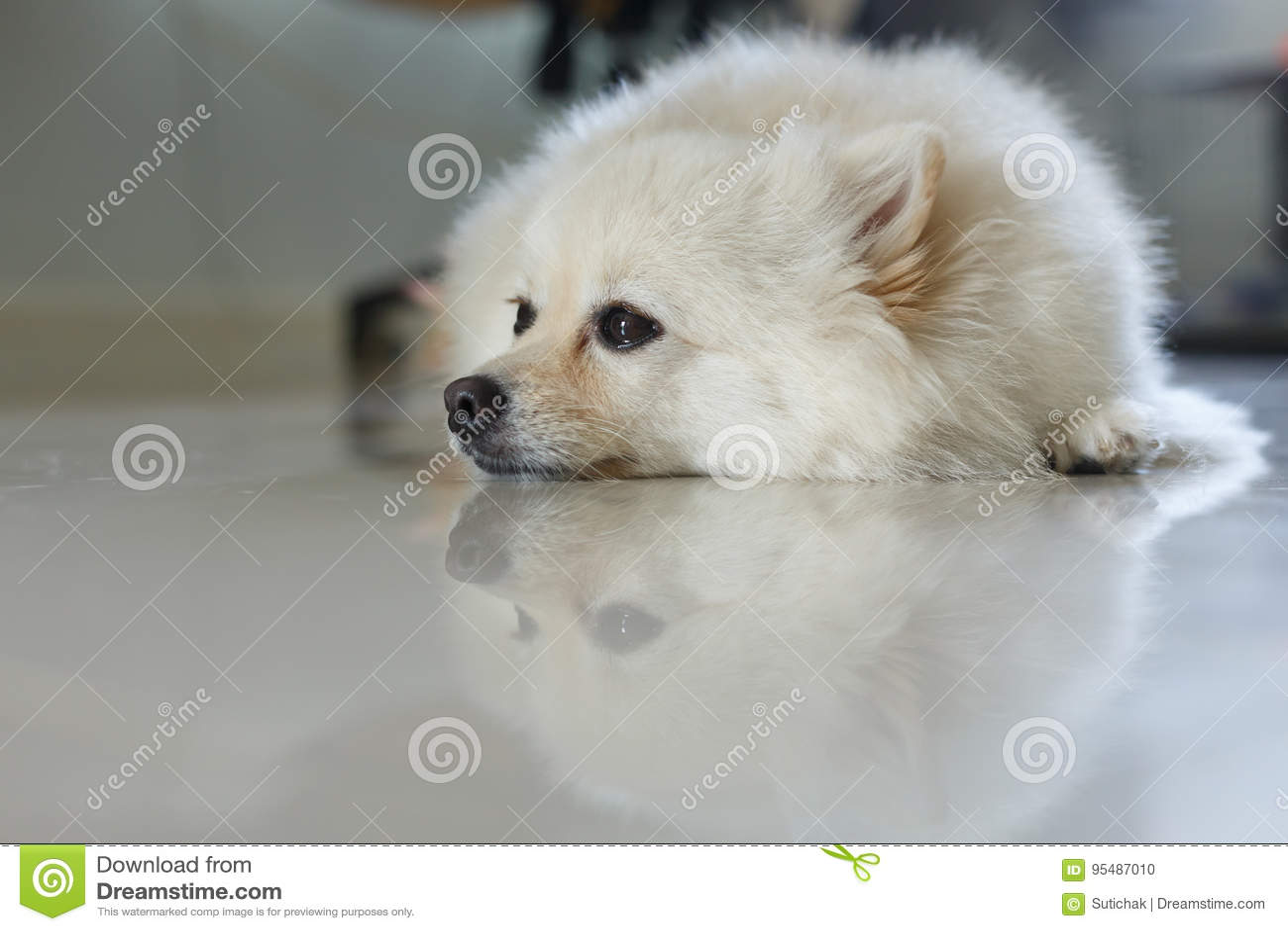 White Pomeranian Cute Dog Stock Photo Image Of Pretty 95487010