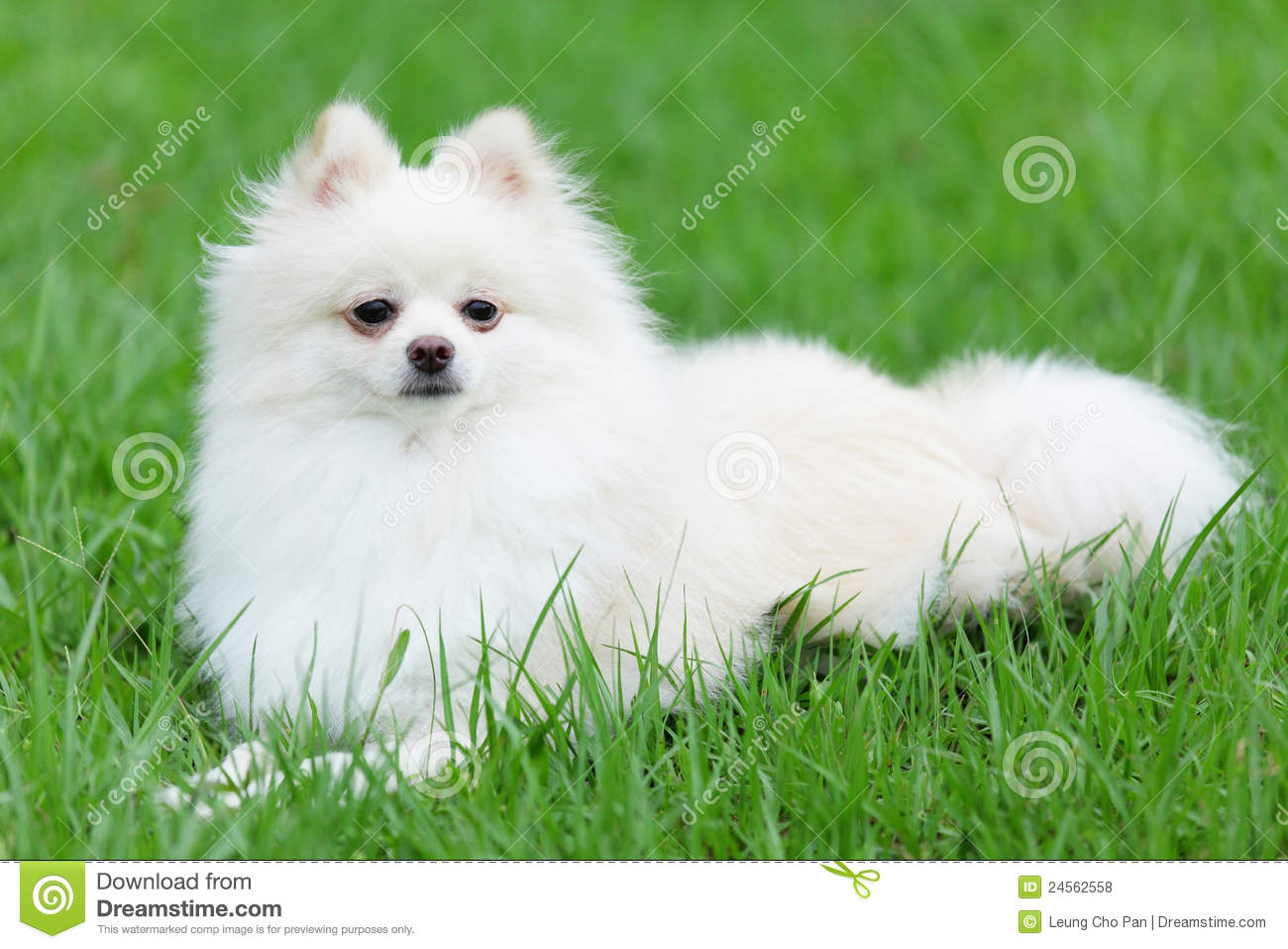 Cute pet in house pomeranian dog sleeping on the bed stock photo white pomeranian dog royalty free stock photos altavistaventures Images