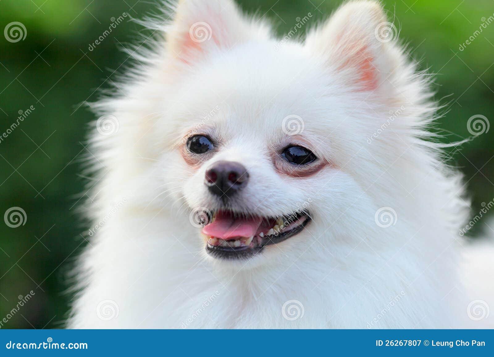 Pomeranian white full grown - photo#13