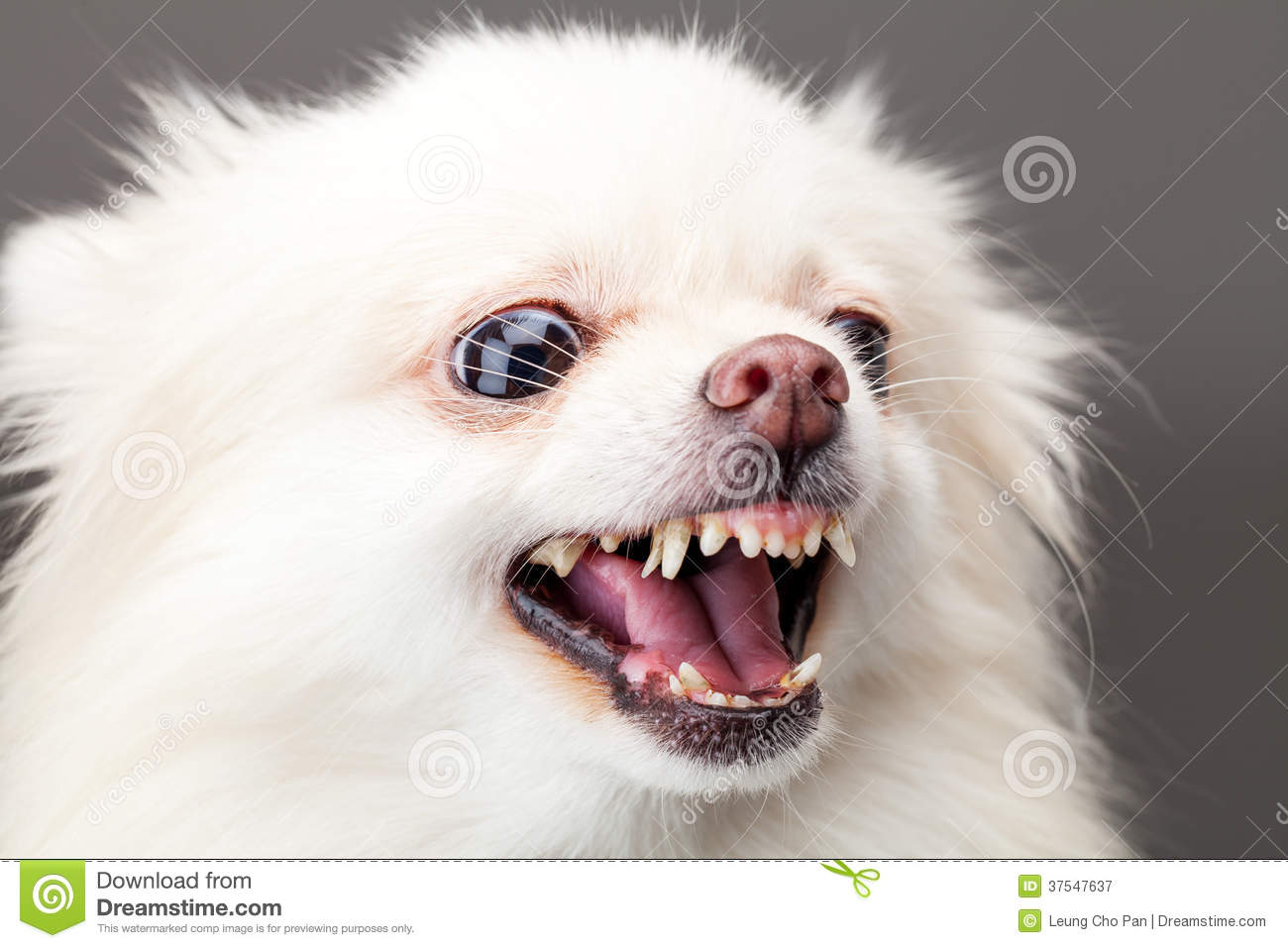 White Pomeranian Dog Barking Stock Image Image Of Studio White