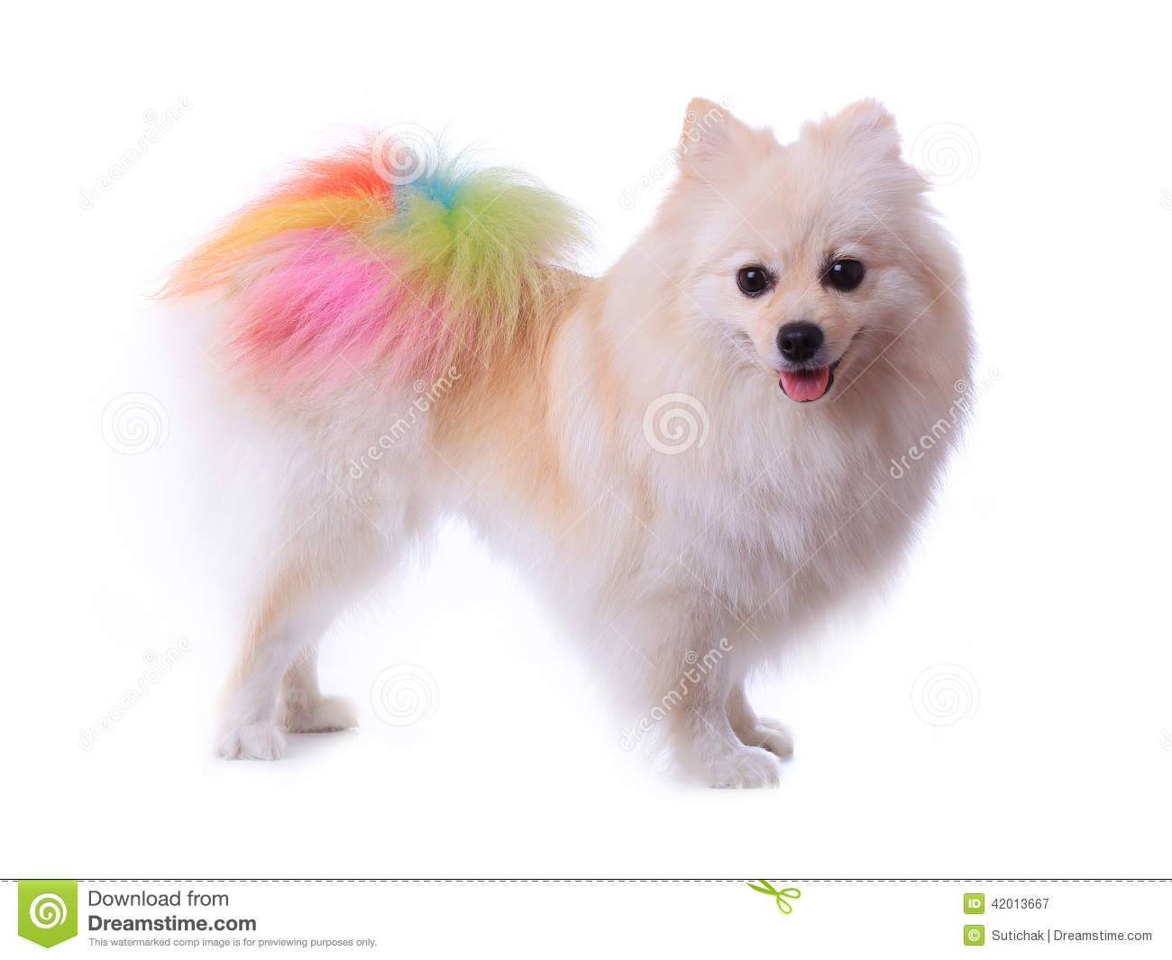 White Pomeranian Dog Grooming Colorful Tail Stock Image Image Of
