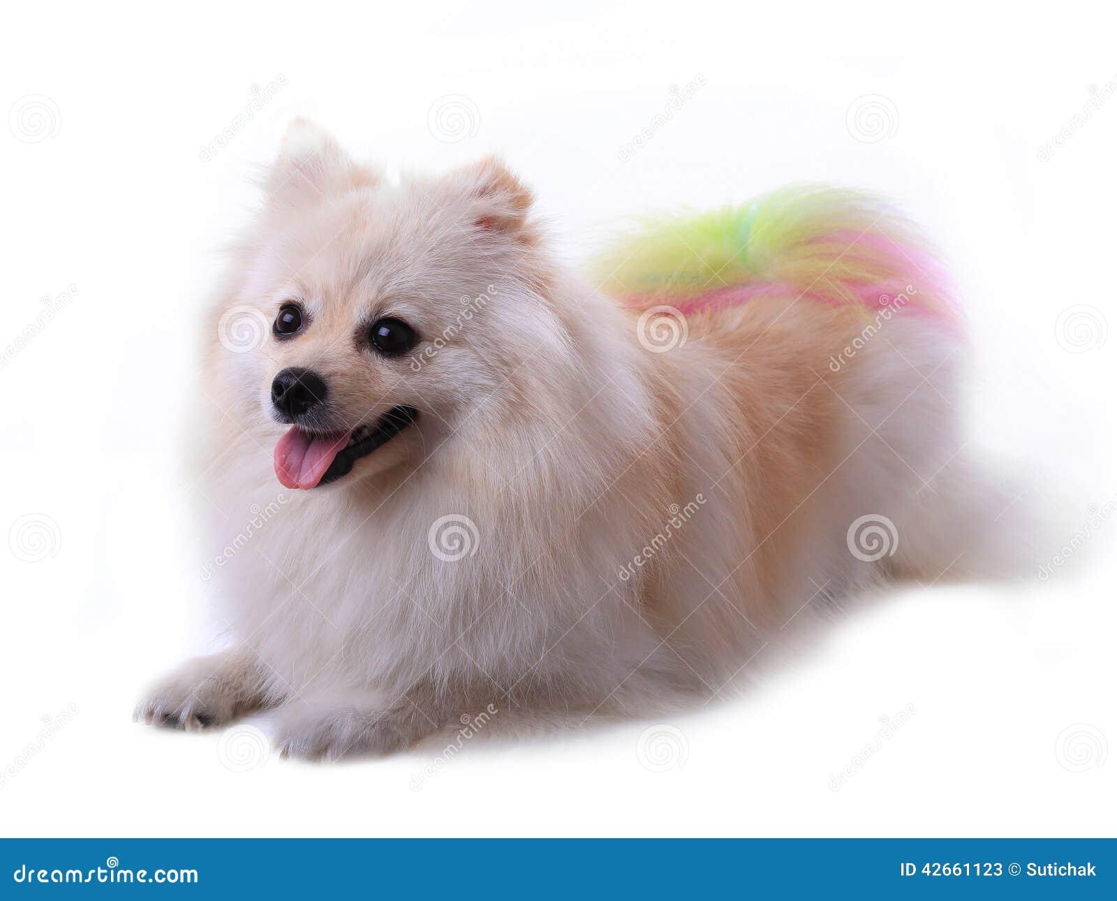 White Pomeranian Dog Stock Image Image Of Hair Lovely 42661123