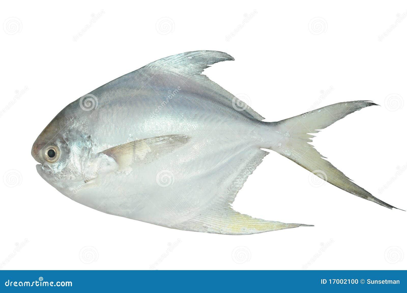 White Pomfret stock photo. Image of delicious, diet ...