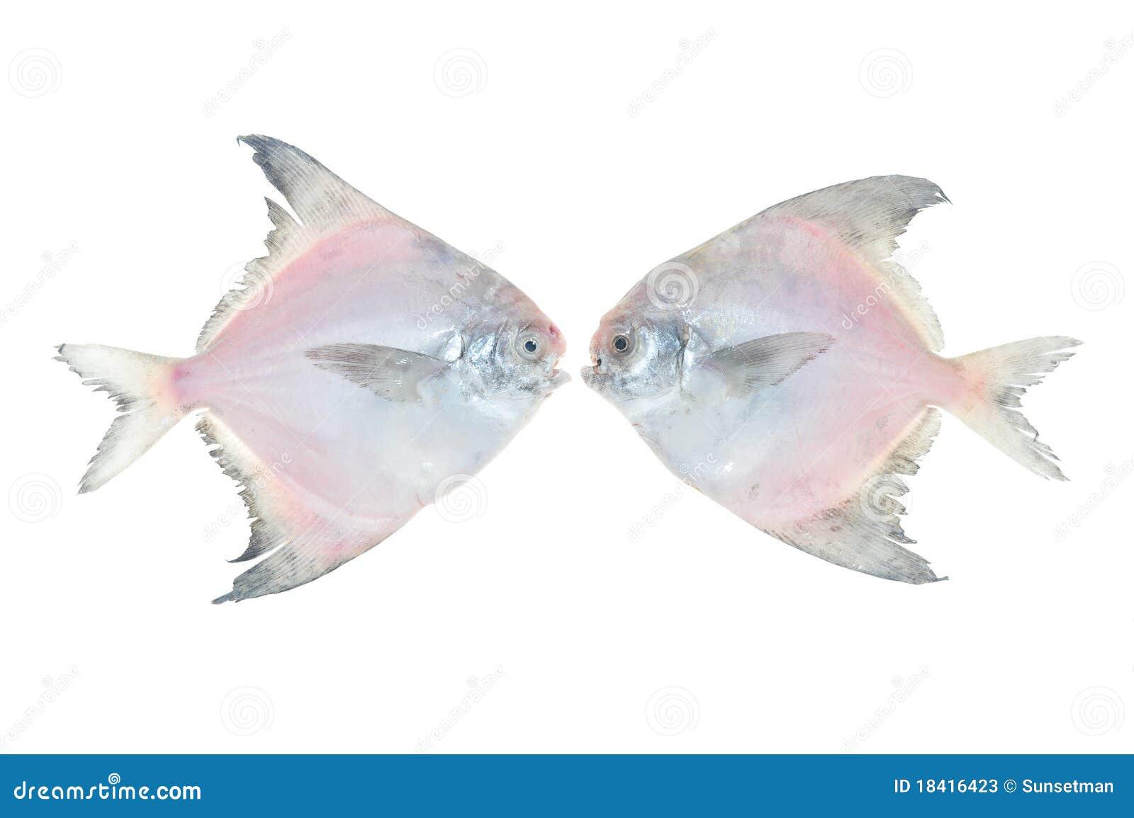 White Pomfret Fishes Stock Photos - Image: 18416423