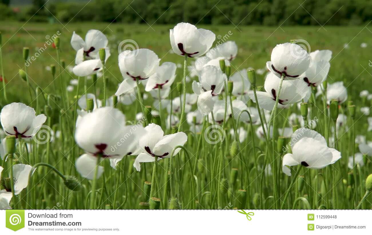 White Poppy Flowers In The Field At Spring Time Stock Footage ...