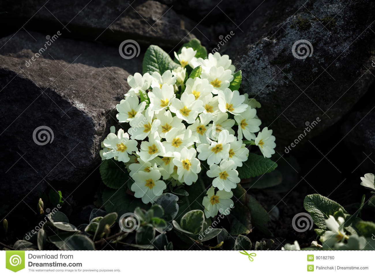White Primrose Flowers Stock Photo Image Of Lots Closeup 90182760