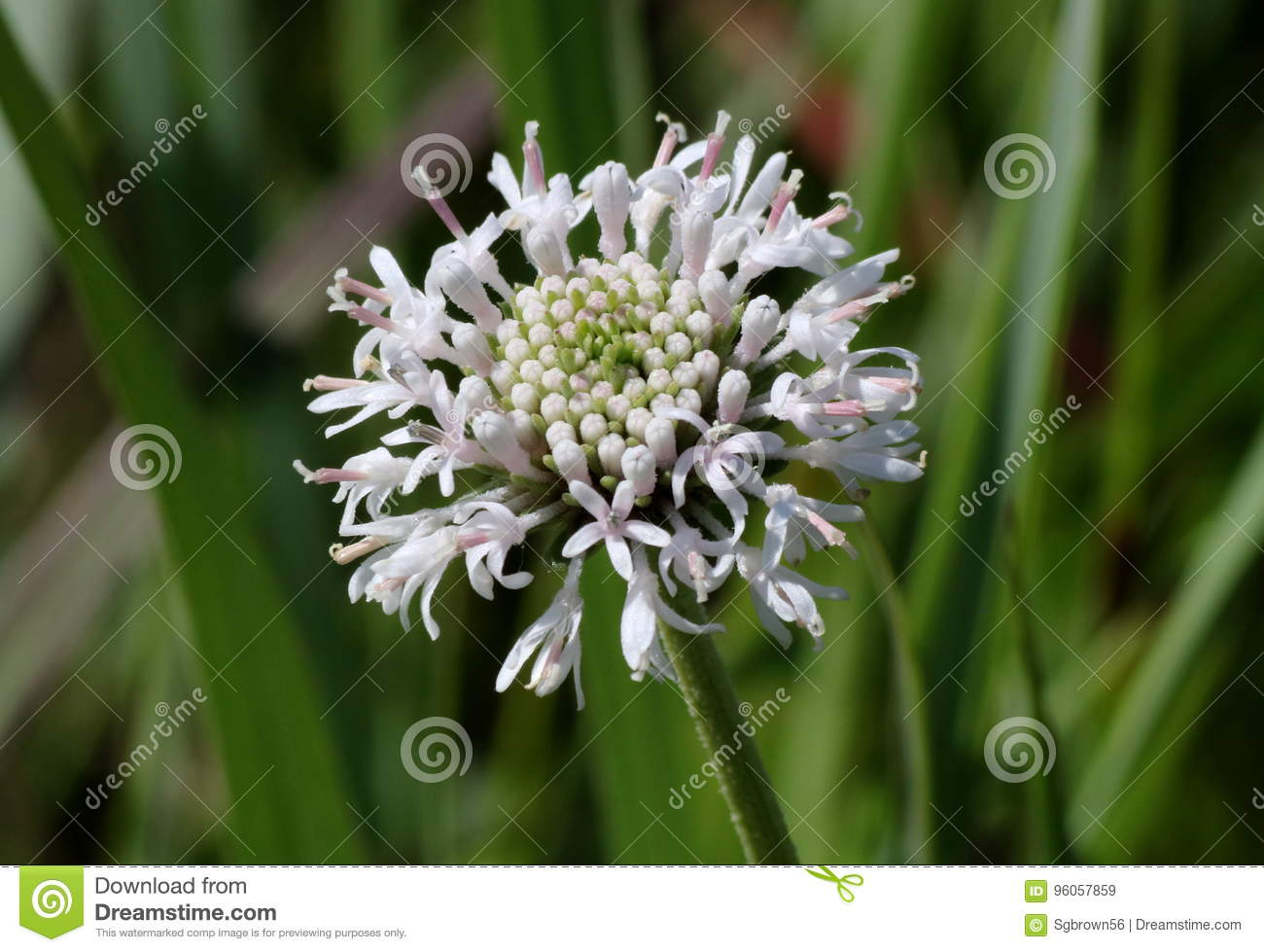 White Puff Ball Wildflower Stock Image Image Of Petals 96057859