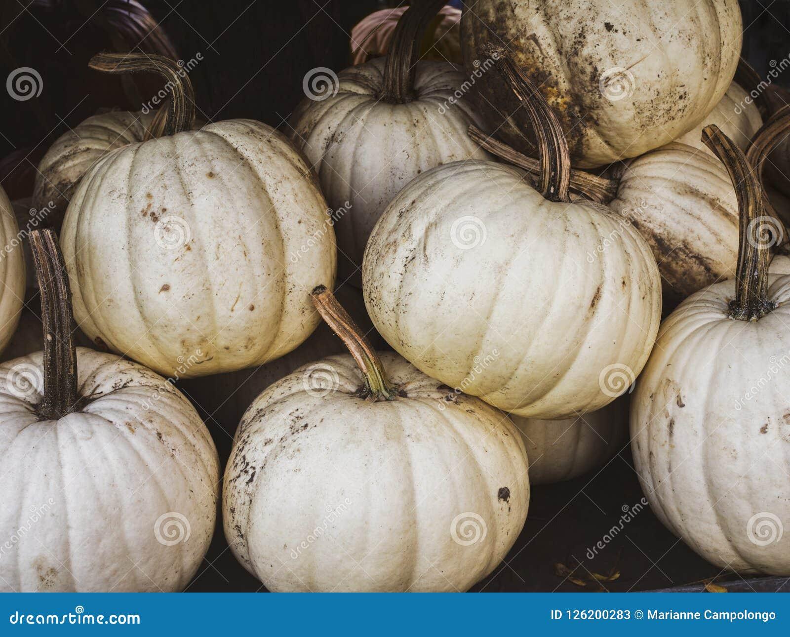 White pumpkins for Halloween