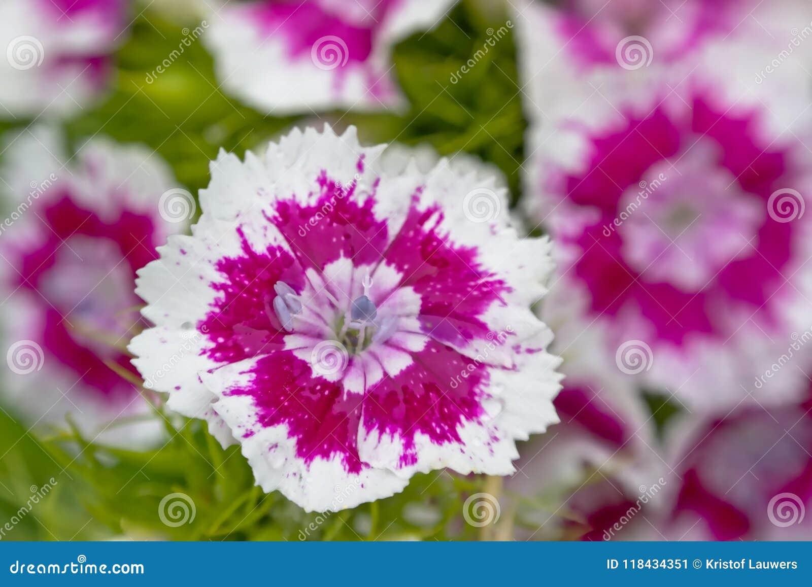 White And Puple Sweet William Flowers Close Uo Dianthus Barbatus