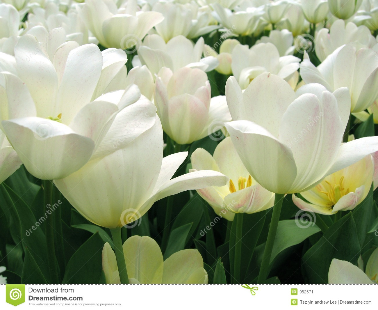 White pure flowers stock image image of flower smell 952671 white pure flowers mightylinksfo