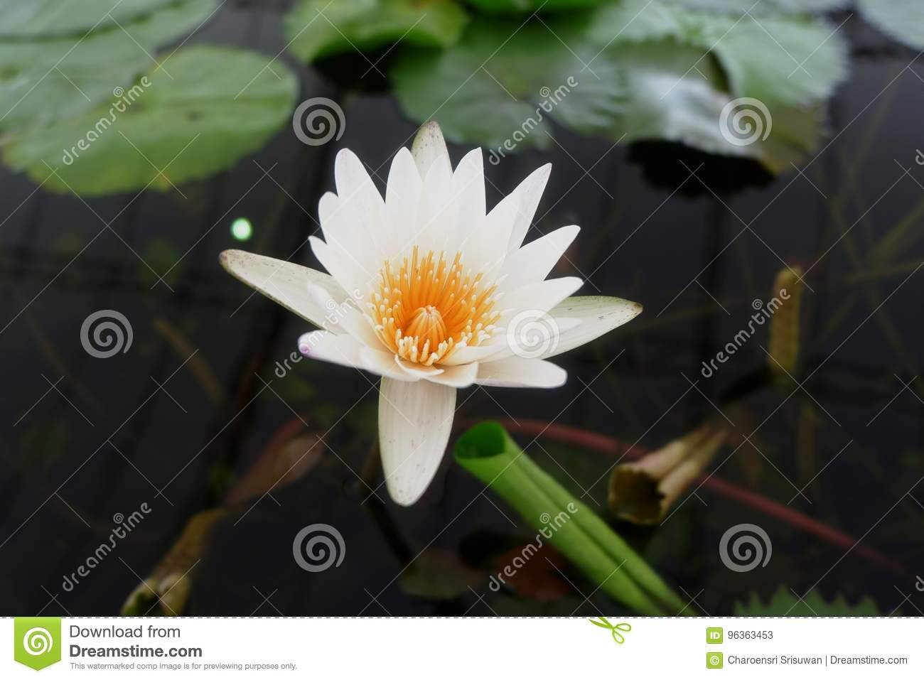 The white purity lotus flower stock image image of blooming download the white purity lotus flower stock image image of blooming devotion izmirmasajfo