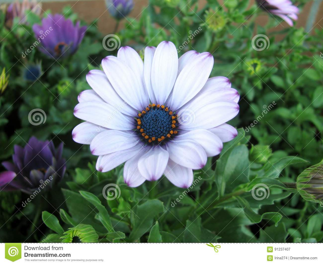 White and purple african daisy flowers. Osteospermum