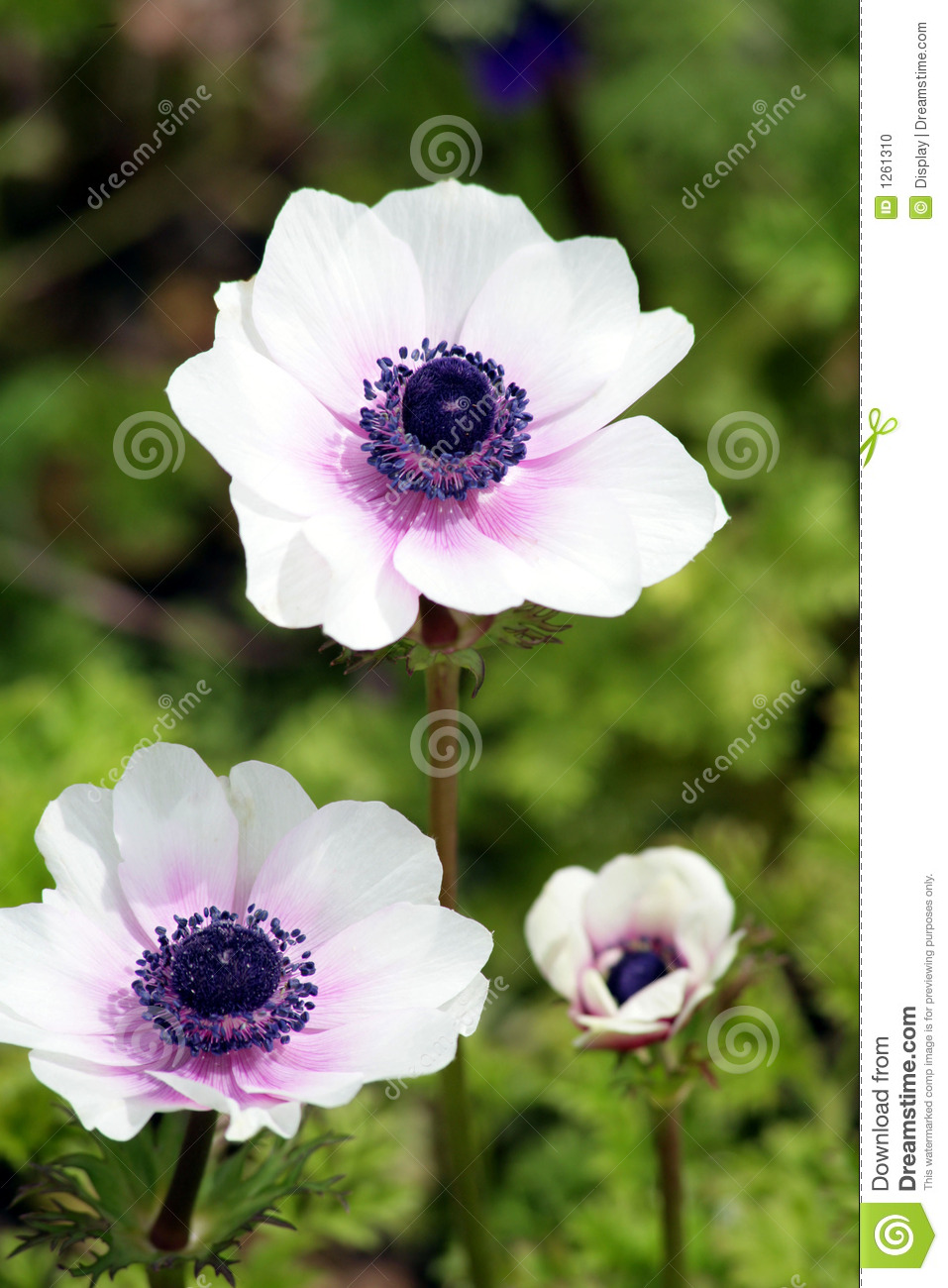 Calendar Vector : White and purple anemones stock photo image