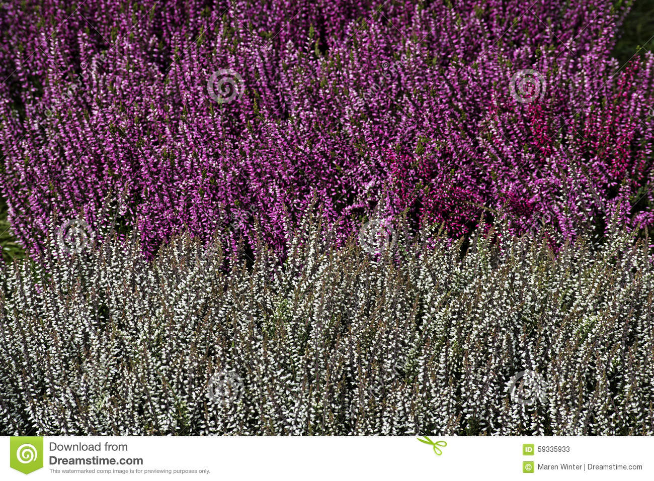White And Purple Flowers Of Erica Carnea In Stripes Garden Back