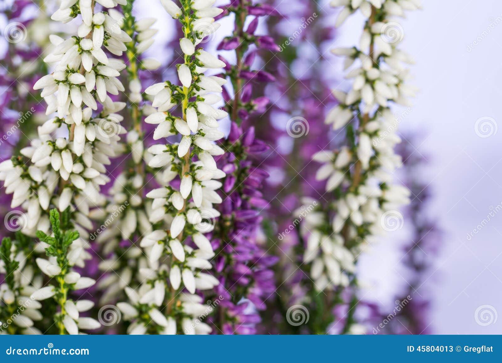 White And Purple Heather Flowers Stock Image Image Of Botanical
