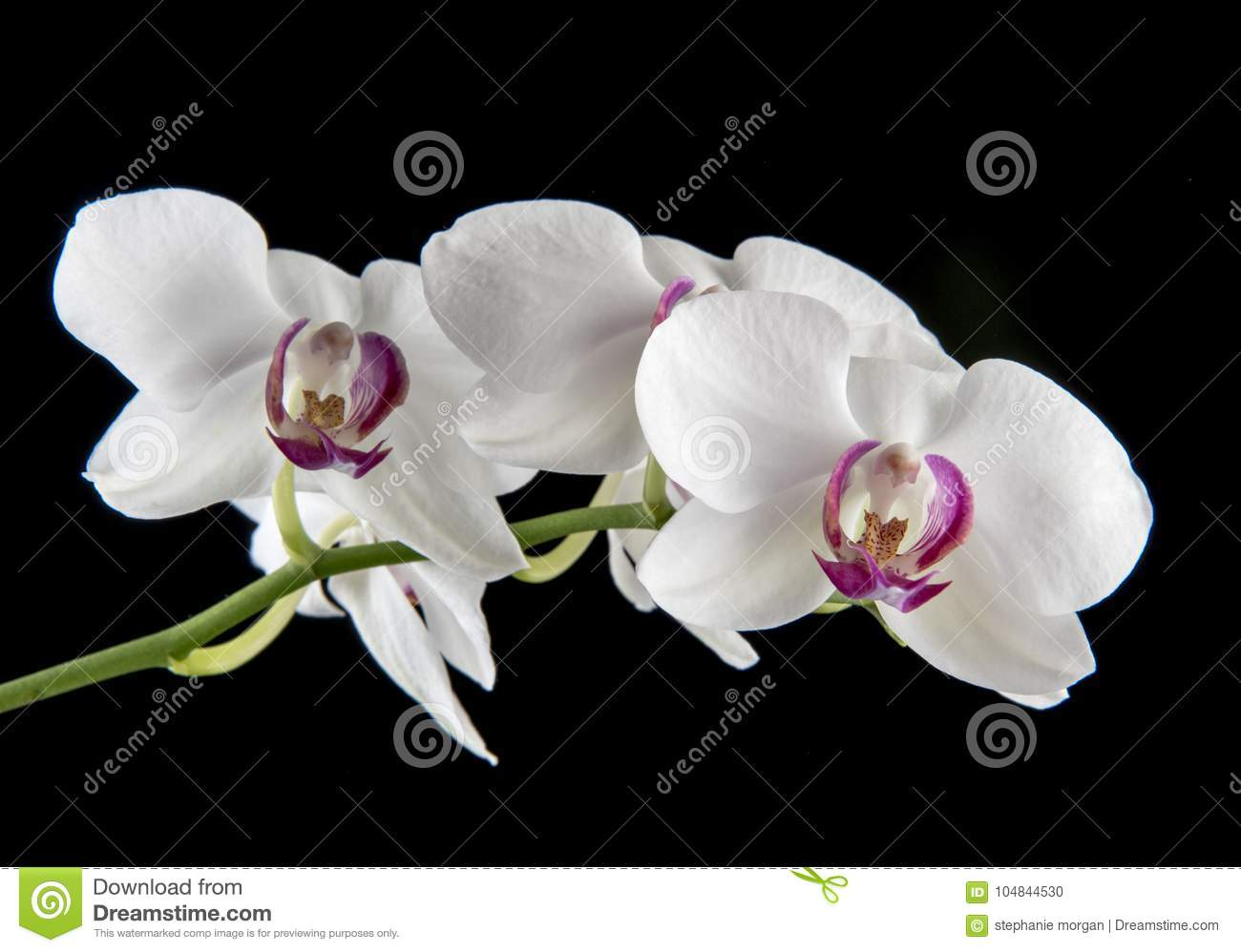 White And Purple Orchid Flower On A Black Background Stock Photo