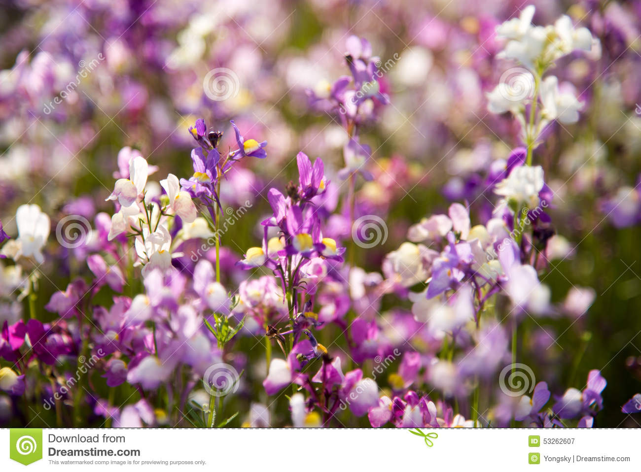 White And Purple Small Flowers Stock Image Image Of Asian Nanjing