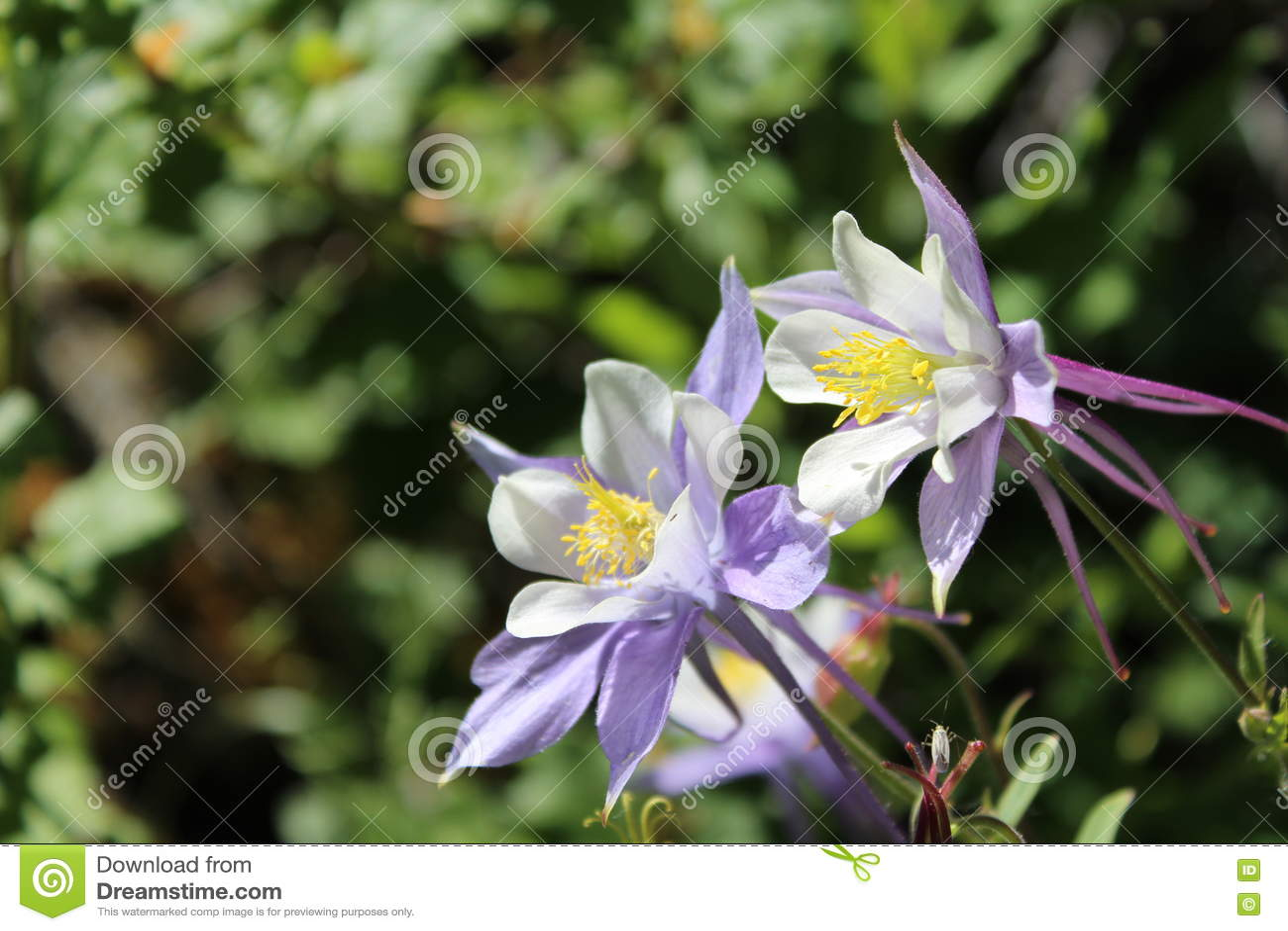 White Purple Wild Columbine Flowers Stock Image Image Of Flowers