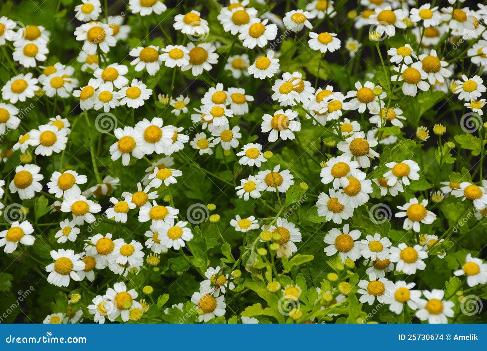 White pyrethrum parthenium