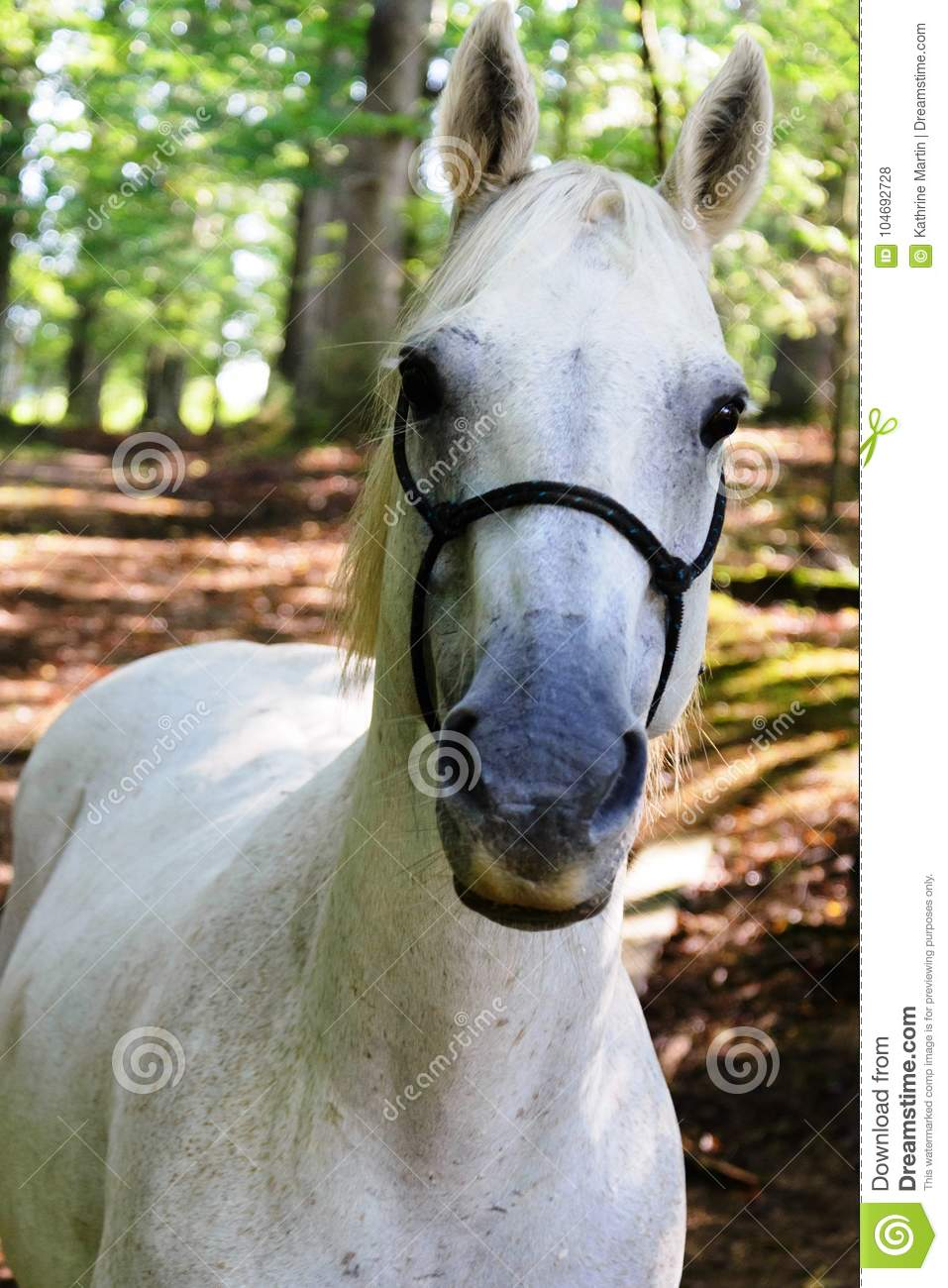 White Quarter Horse Standing Outdoors In A Forest Stock Photo