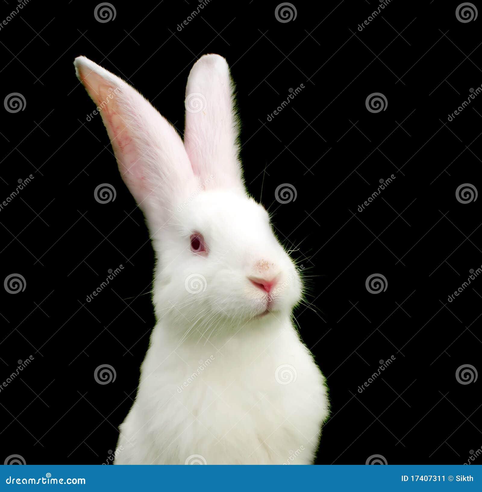 White Rabbit On Black Background Stock Image Image Of Baby Bunny