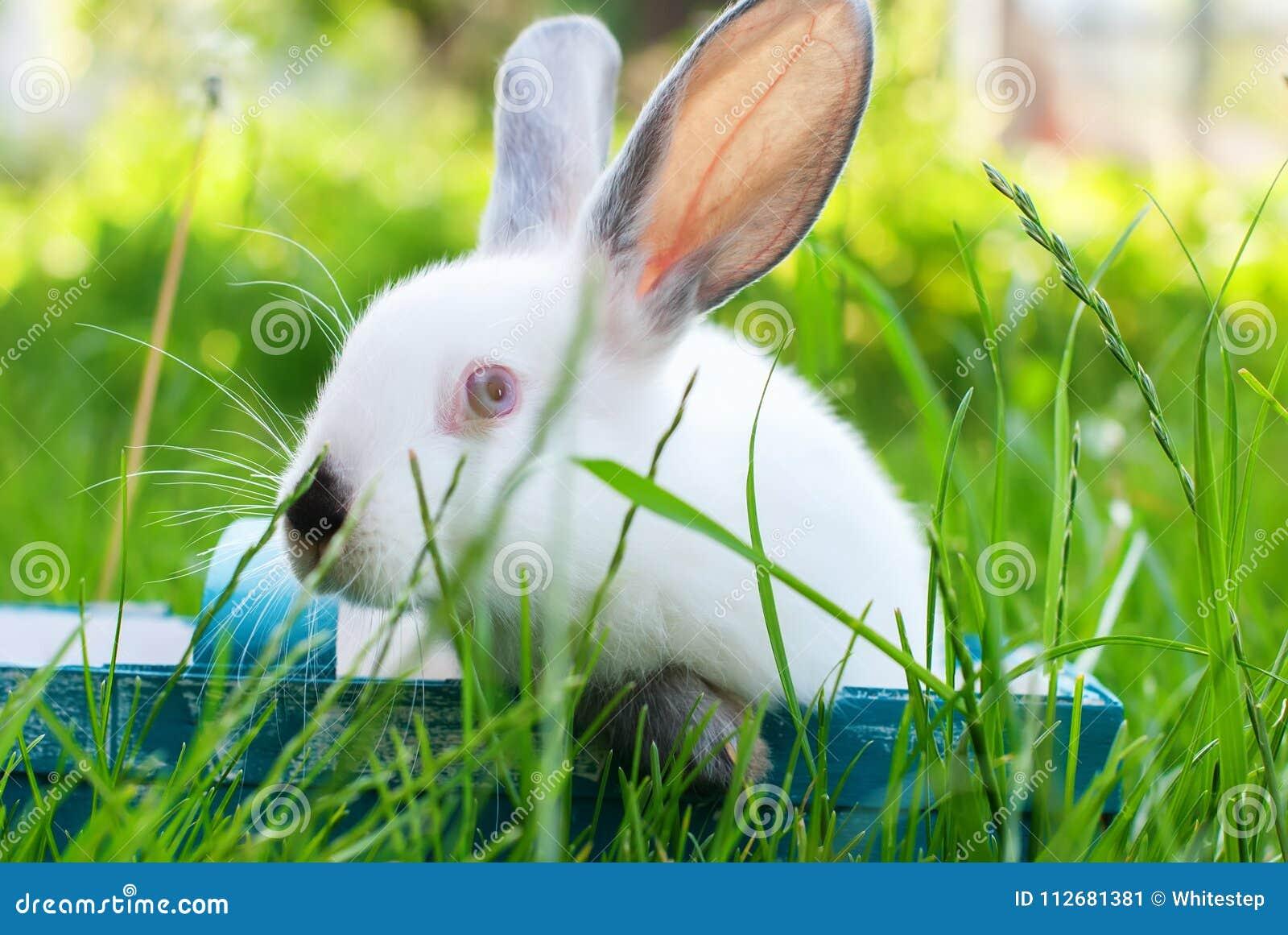 White Rabbit Blue Wattled Basket Green Grass Easter Stock Image