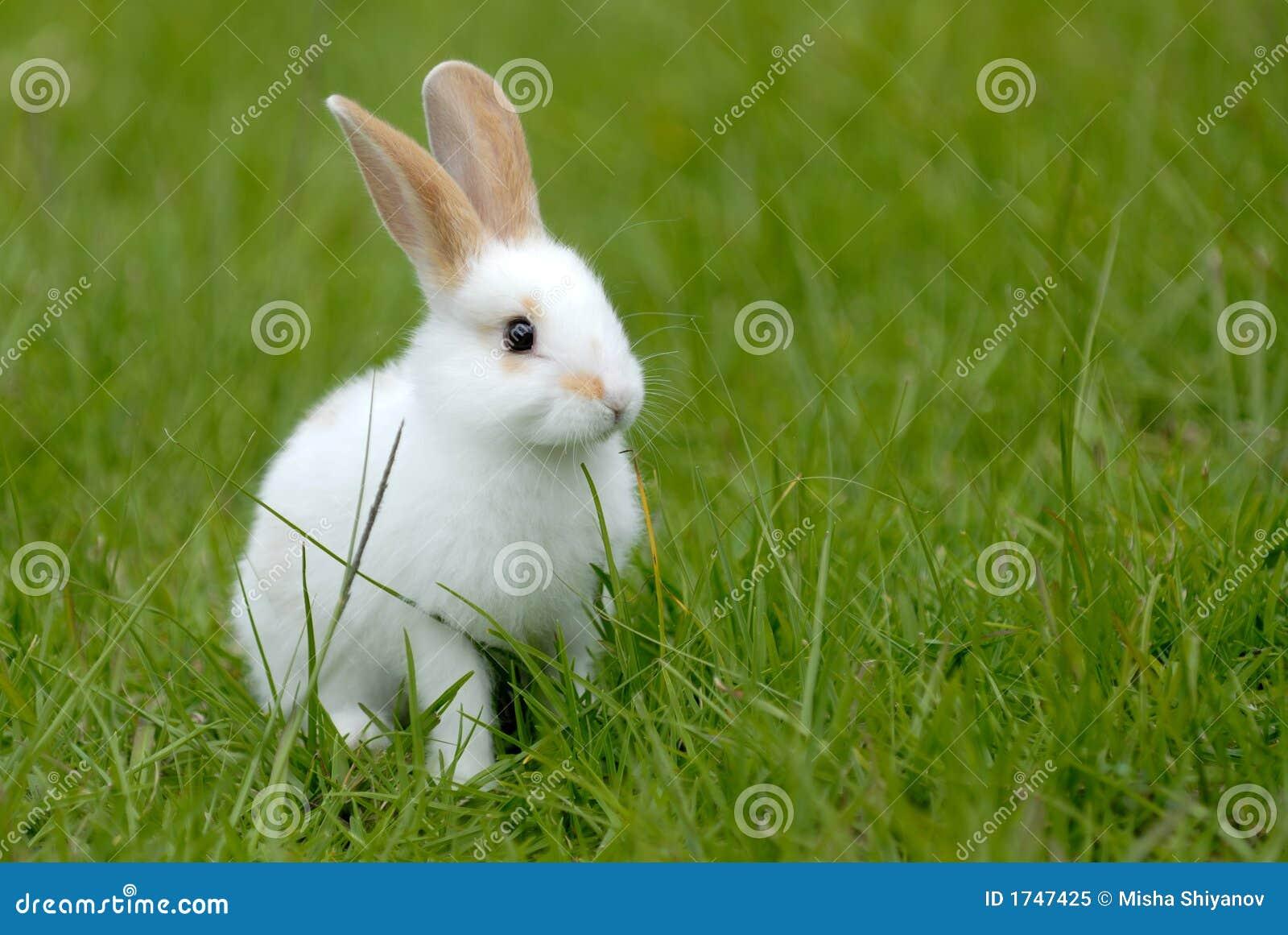 white rabbit on the grass royalty free stock photo   image