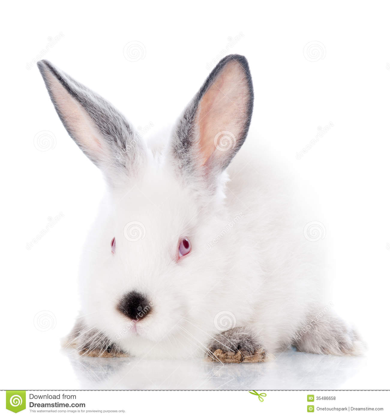 White rabbit with grey ears on white.