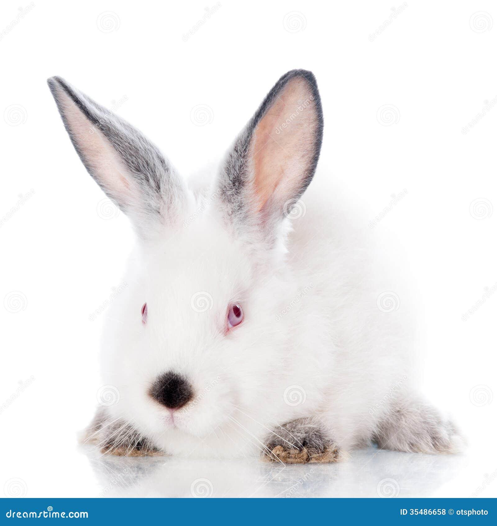 White rabbit with grey...