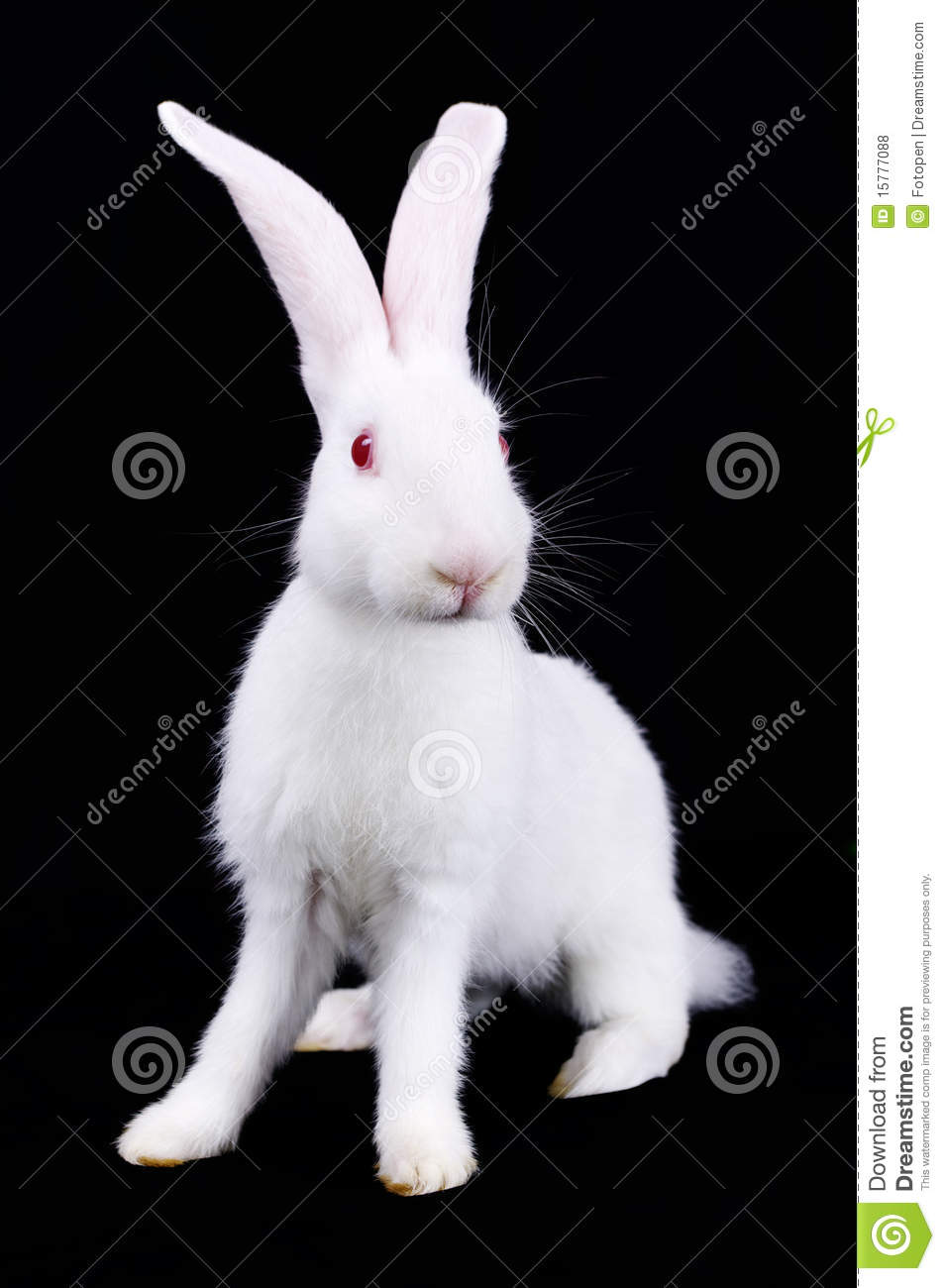 White Rabbit With Long Ears Royalty Free Stock Photos Image
