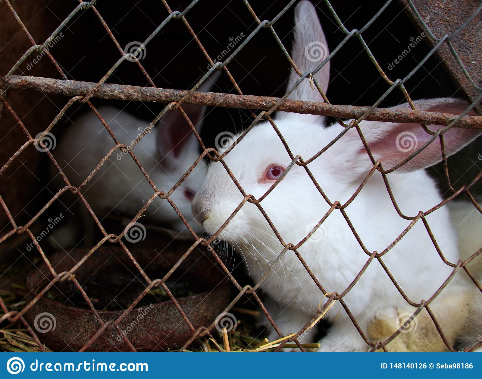A white rabbit is sitting in the cage