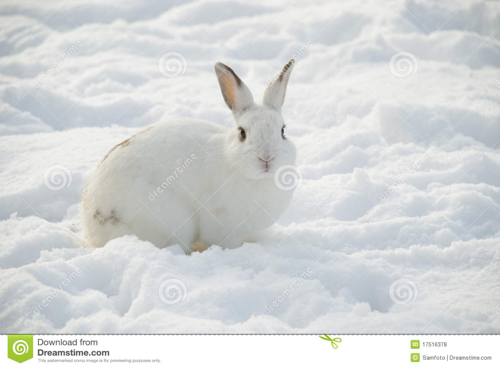 white rabbit in snow royalty free stock photos image
