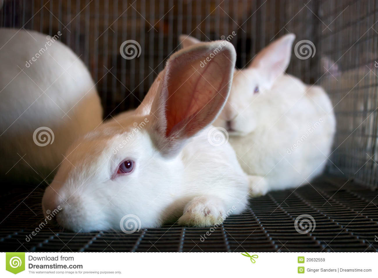 White Rabbits in A Wire Cage