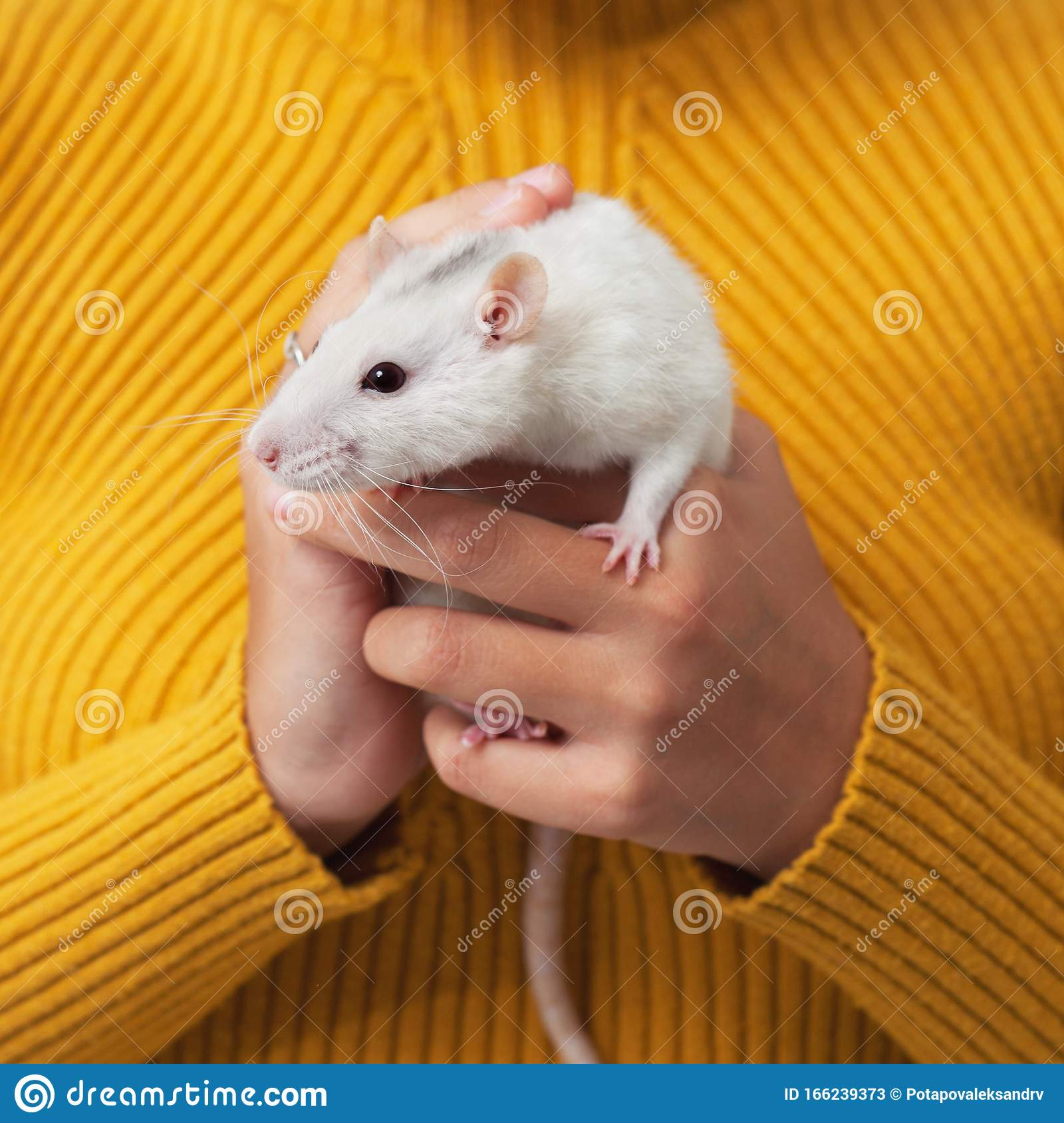 White rat in the arms stock image. Image of rats, chinese