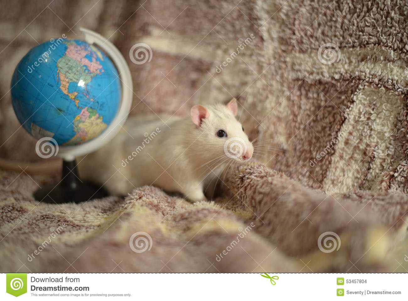 White Rat Stock Photo Image Of Color Manual Live Globe 53457804
