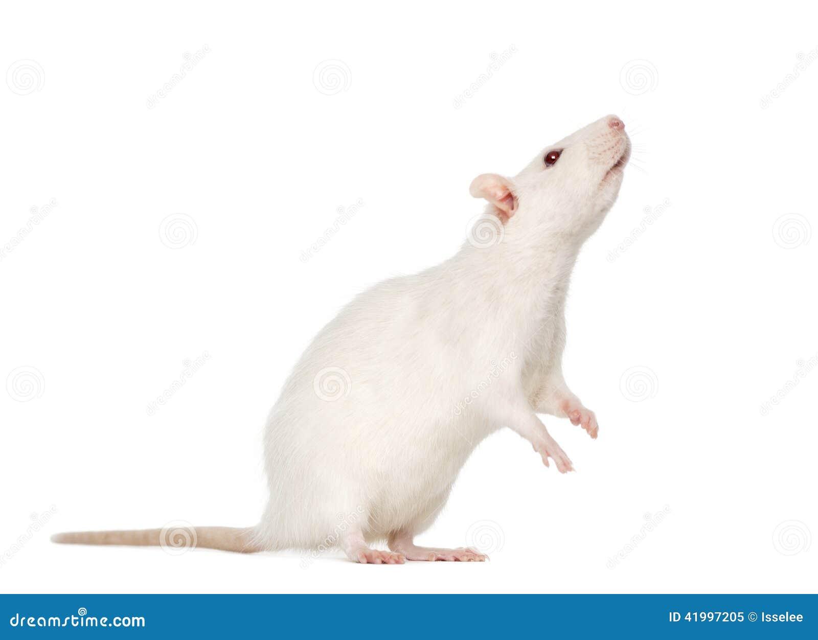 White Rat On Hind Legs...