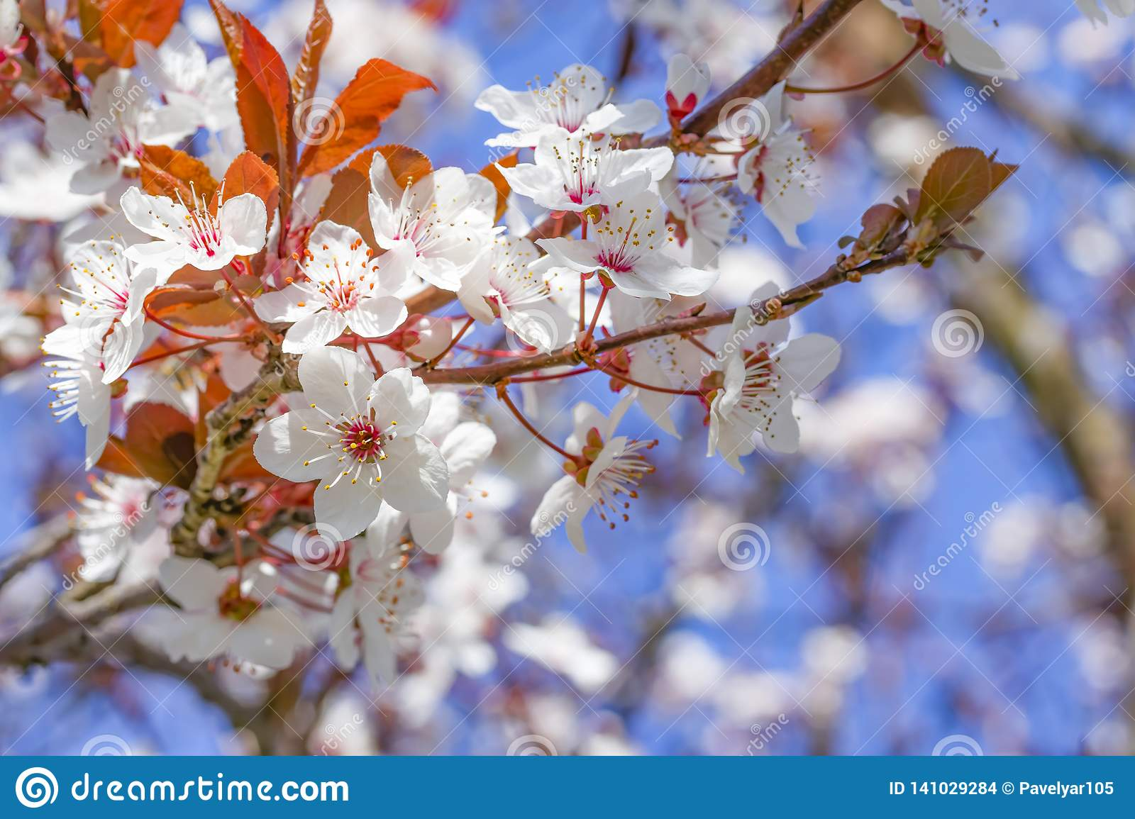 White red flowers of Prunus cerasifera. Blossoming branch with with flowers of cherry plum. Blooming tree