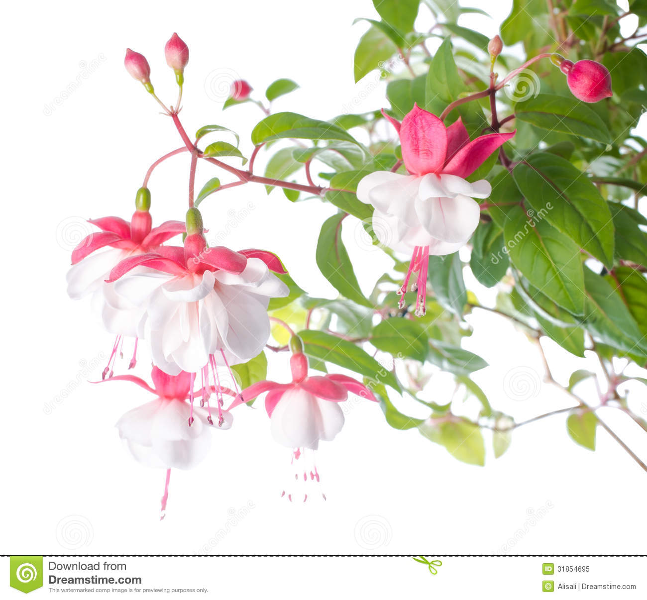 White And Red Fuchsia Flower Isolated White Background Royalty Free Stock