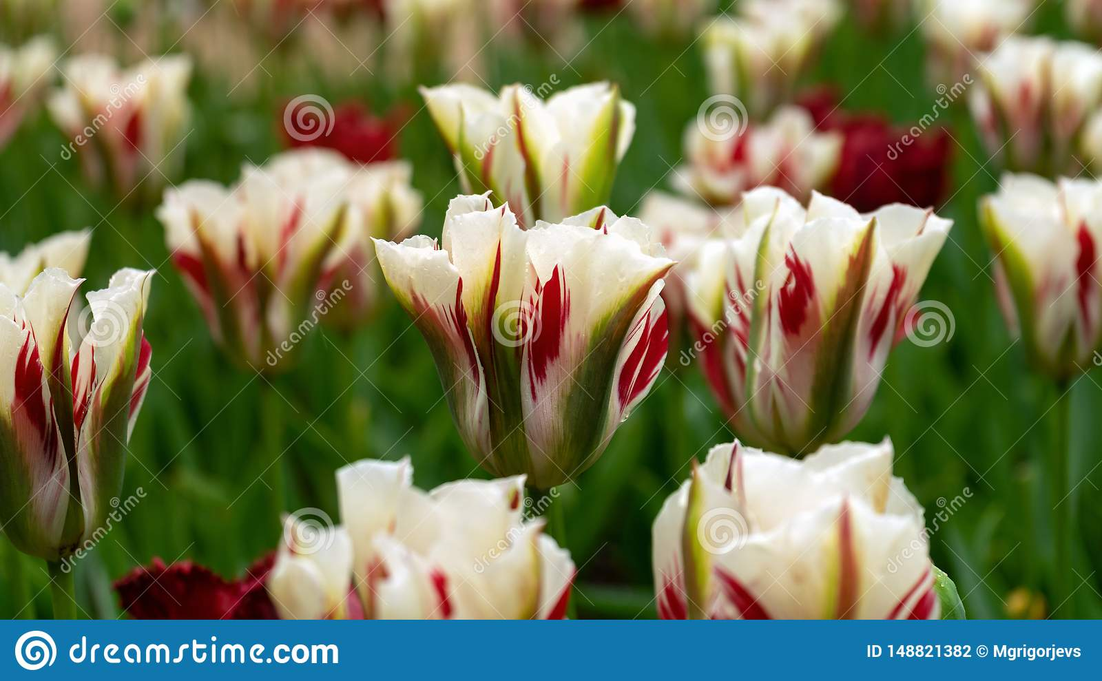 White, red and green Viridiflora Tulips in the garden