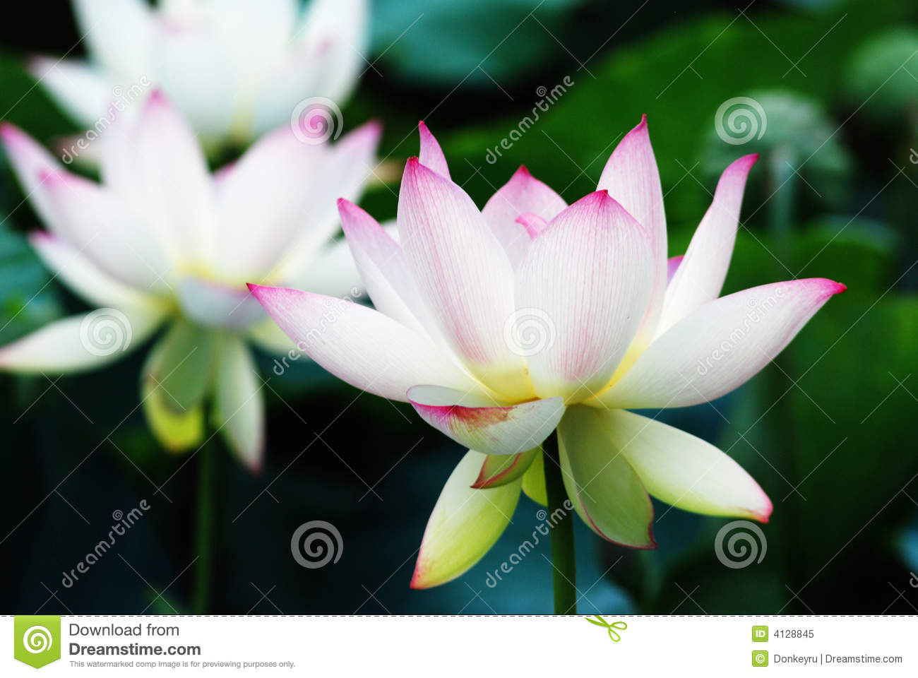 White And Red Lotus Flower Stock Image Image Of Brilliant 4128845