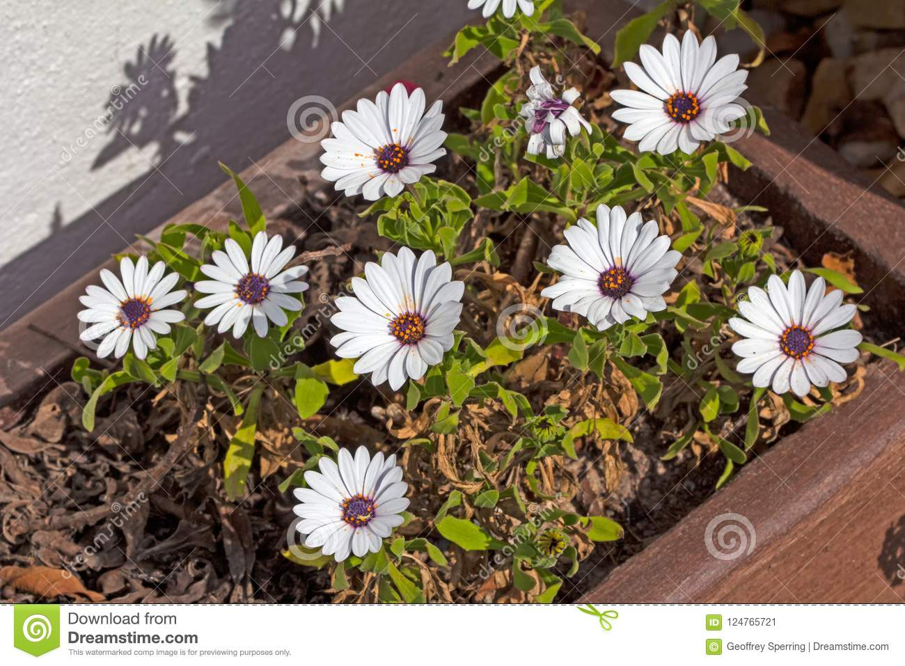 White Reenblommetjie Daisies Growing In Garden Stock Image - Image ...