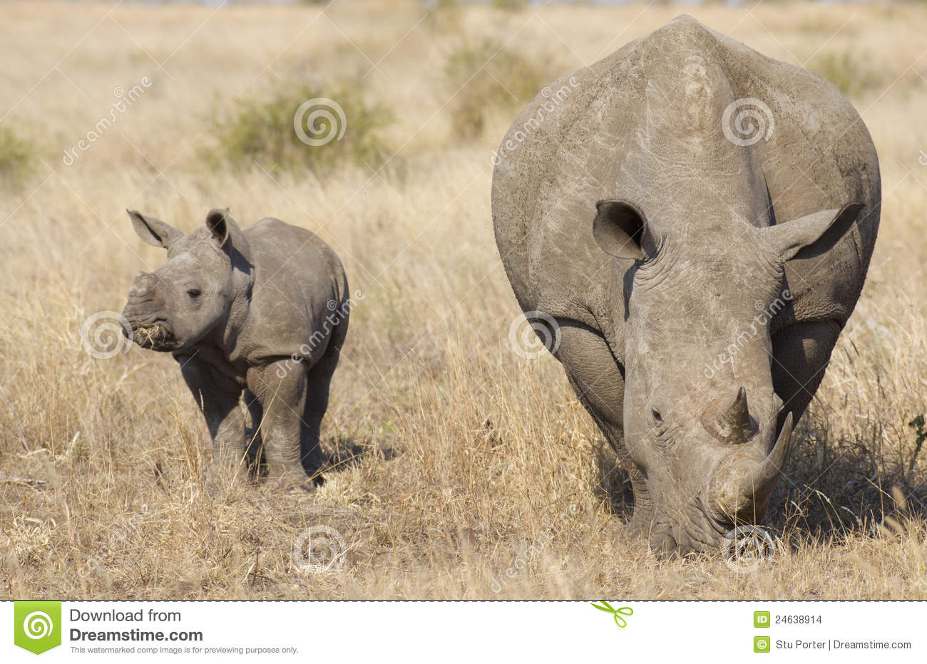 White Rhino with Baby, South Africa