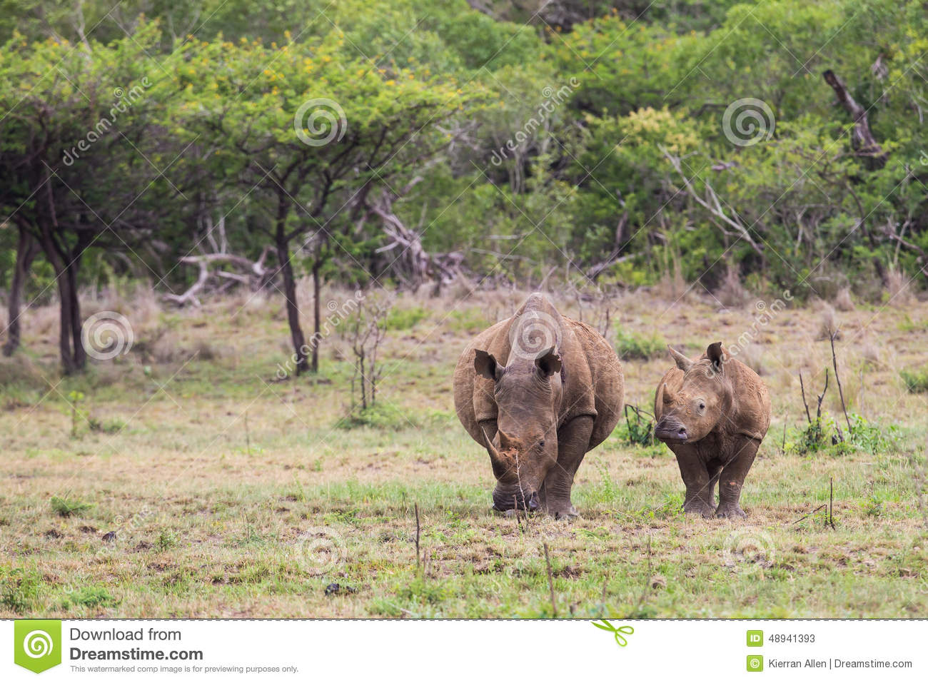 White Rhino and calf in South Africa
