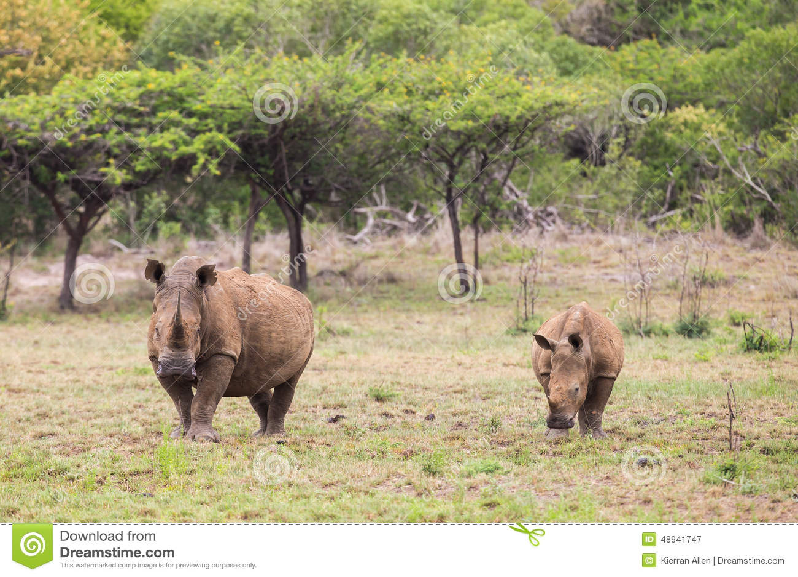 White Rhino and Calf South Africa