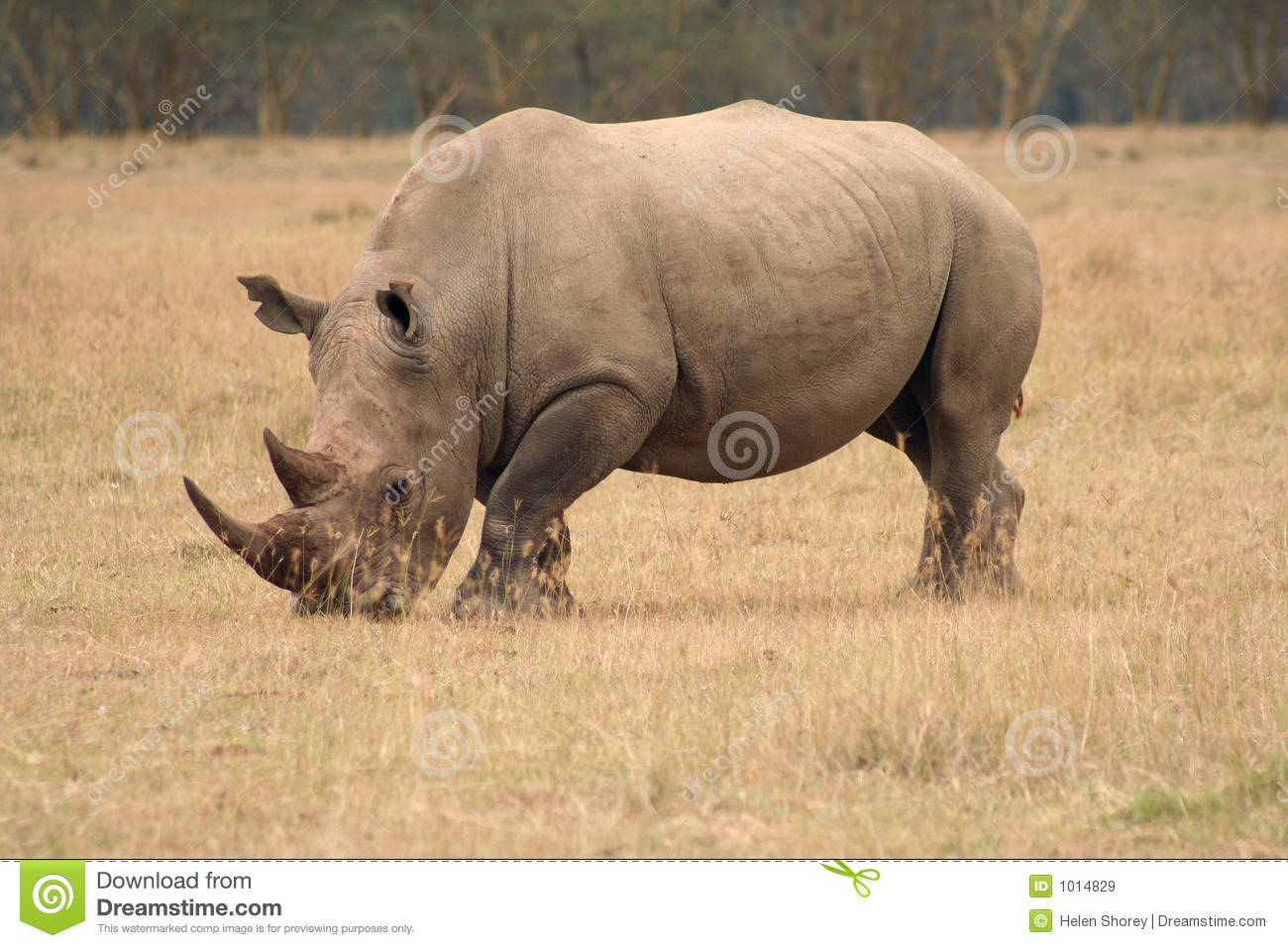 Rhino Side By Side >> White Rhino side view stock image. Image of africa, animal ...