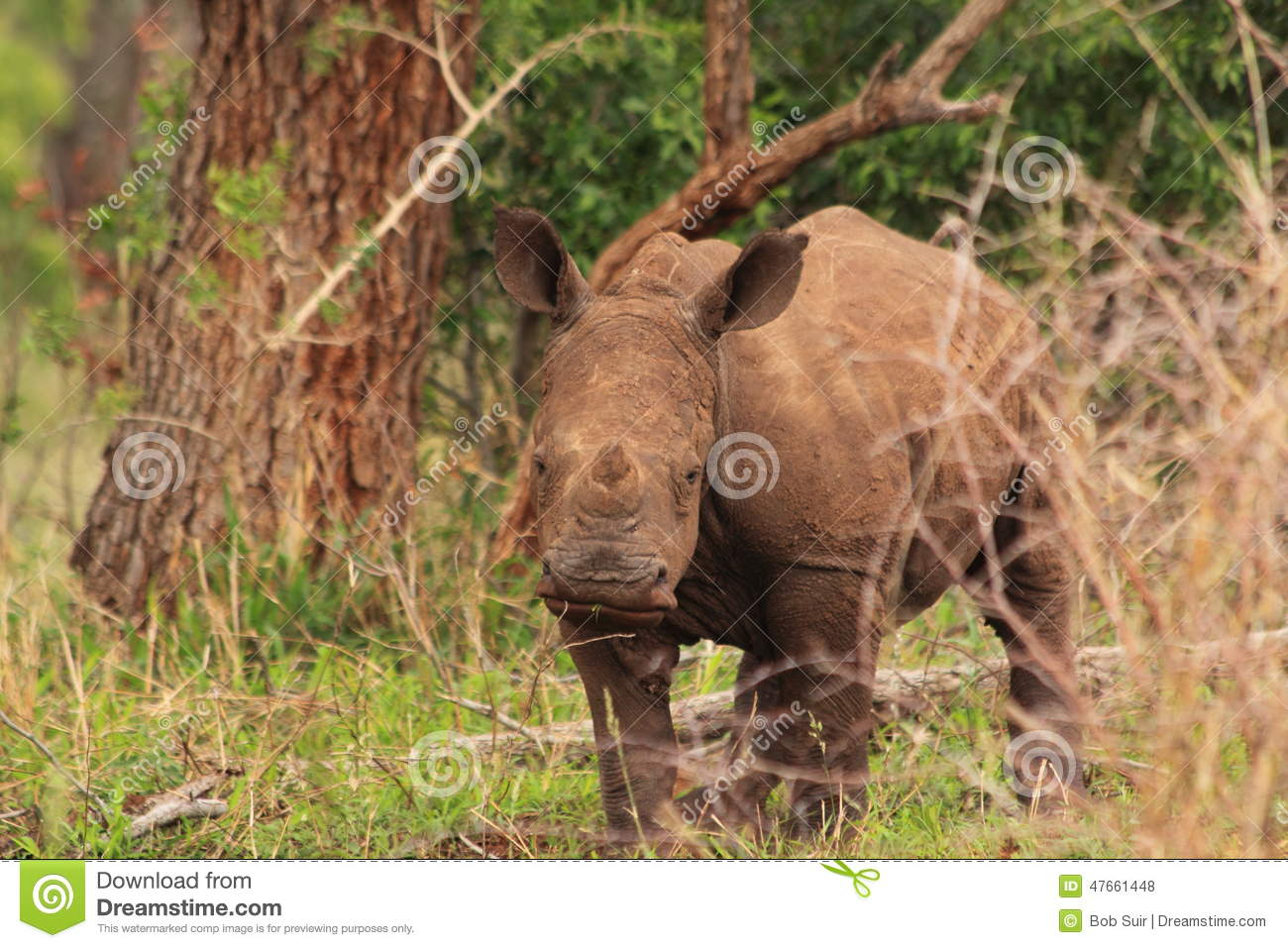 White rhino young in the wilderness